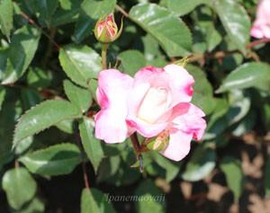 花霞は四季咲き性です