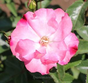 花霞の花径は約8cmの中輪サイズです