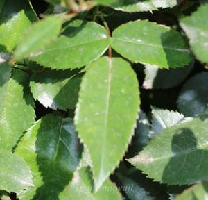 花霞の葉は明緑色で長細くなる