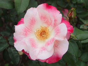 花霞は鈴木省三氏の作出したバラです
