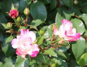 花霞は数輪の房咲きになり花つきがよい品種です