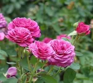 ハイディ クルム ローズは花径10cmの大輪花