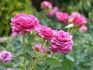 ハイディ クルム ローズは四季咲き品種です
