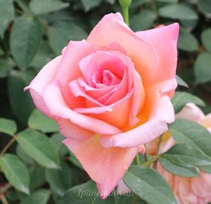 ヘレントローベルはハイブリッドティー系統のバラです