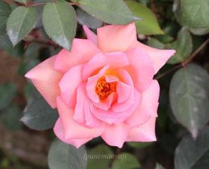 ヘレントローベルは早咲き品種です