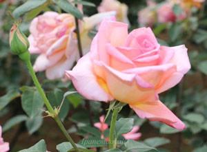 ヘレントローベルは大輪四季咲き品種です