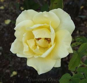 ヘルムート シュミットは四季咲き