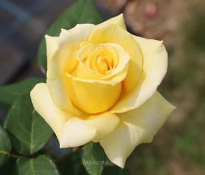 ヘルムート シュミットは Kordes 作出のバラ