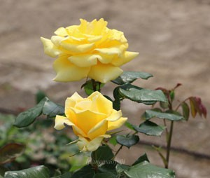 ヘルムート シュミットは小輪サイズだが花つきがよい品種