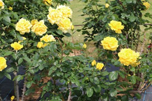 ヘルムート シュミットの花形は半剣弁高芯咲きです