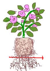 鉢植えの植え替え その2