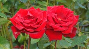 ヘルツアスは花枝が長くトゲが少ないので切り花に適する