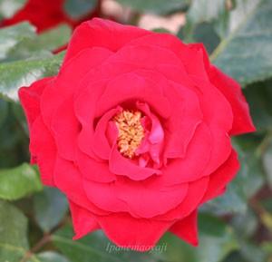 ヘルツアスはHT系統のバラです