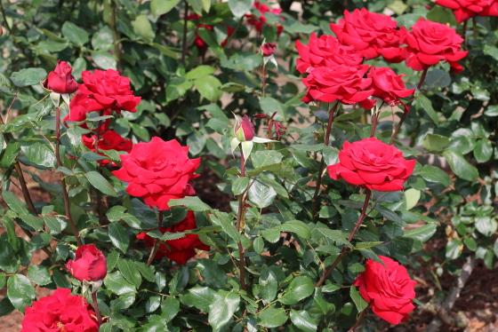 ヘルツアスの花形は半剣弁高芯咲きです