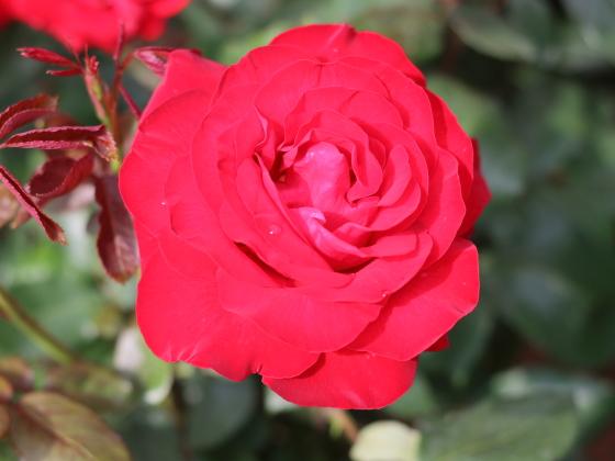 ヘルツアスは緋赤色の大輪サイズ