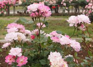 姫は花径が約4cmの小輪花です
