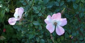 ひなあられは一重咲きの小輪サイズ
