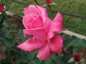 芳純は大輪四季咲き品種です
