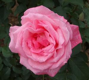 芳純の花径は約11cmです