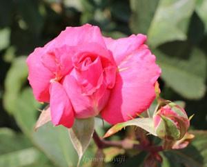 芳純の花形は半剣弁高芯咲きです