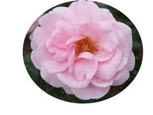 ホーム・ガーデンはピンク色の大輪花です