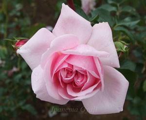 ホーム・ガーデンは丸弁平咲きからロゼット咲きへ変化します