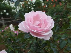 ホーム・ガーデンはシュラブ系統のバラ