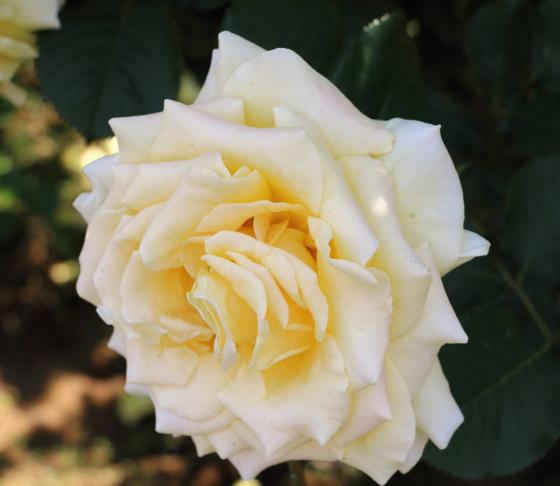 ハニー ブーケの花径は約11cmの大輪花です