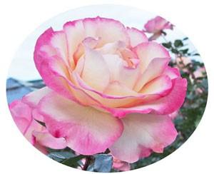 ほのかは花つき花もちがよい品種です