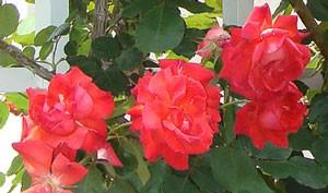 焔の波の花形は半剣弁高芯咲きです