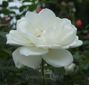 アイスバーグは四季咲き性で中輪サイズの花径
