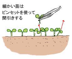 細かい苗を手で抜くと傷めるのでピンセットを使います