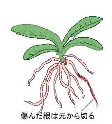 ラン類の植え替え
