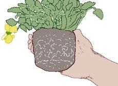 植え替え 根鉢を整える