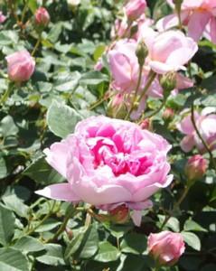 ジ・インジニアス・フェアチャイルドの花形はカップ咲き