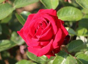 イングリッド バーグマンはハイブリッドティー系統のバラ