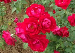 16輪以上の房咲きで多花性のバラ