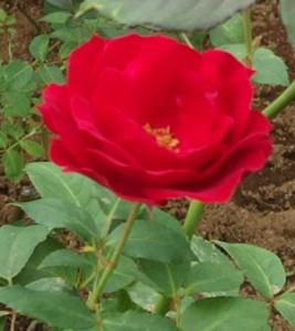 鮮やかな赤色は花壇に置くと映えますよ