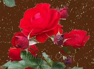 丸弁平咲きで花径は7cm前後