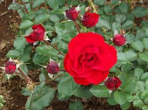 イングリッド ウェイブルは四季咲き性