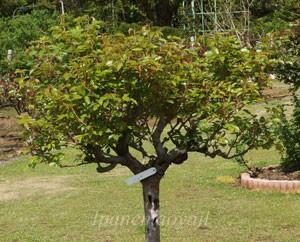 イングリッド ウェイブルはフロリバンダ系統のバラ