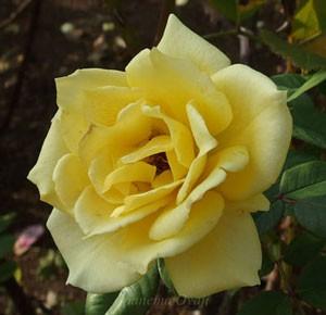 インカの花形は剣弁高芯咲き