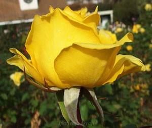 インカの花色は濃い黄色でくすみが少ない