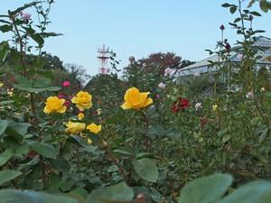 インカは四季咲き性のバラ