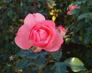 ジャルダン・ドゥ・フランスの花径は7cmほど