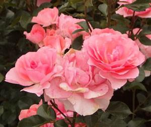 ジャルダン・ドゥ・フランスの花形は丸弁平咲き