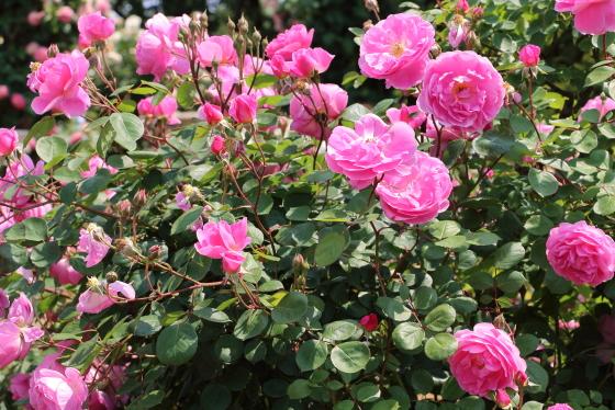 ジョン クレアは5~8凛の房咲きになる