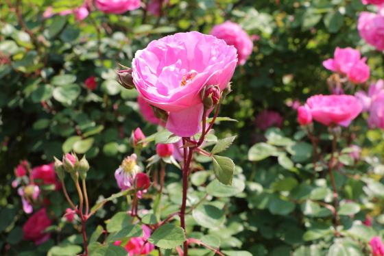 ジョン クレアは四季咲き性が強く晩秋まで咲きます