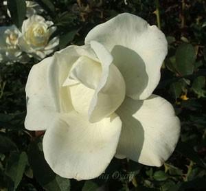 ジョン・エフ・ケネディは純白色の花