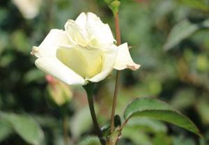 ジョン・エフ・ケネディは四季咲き性
